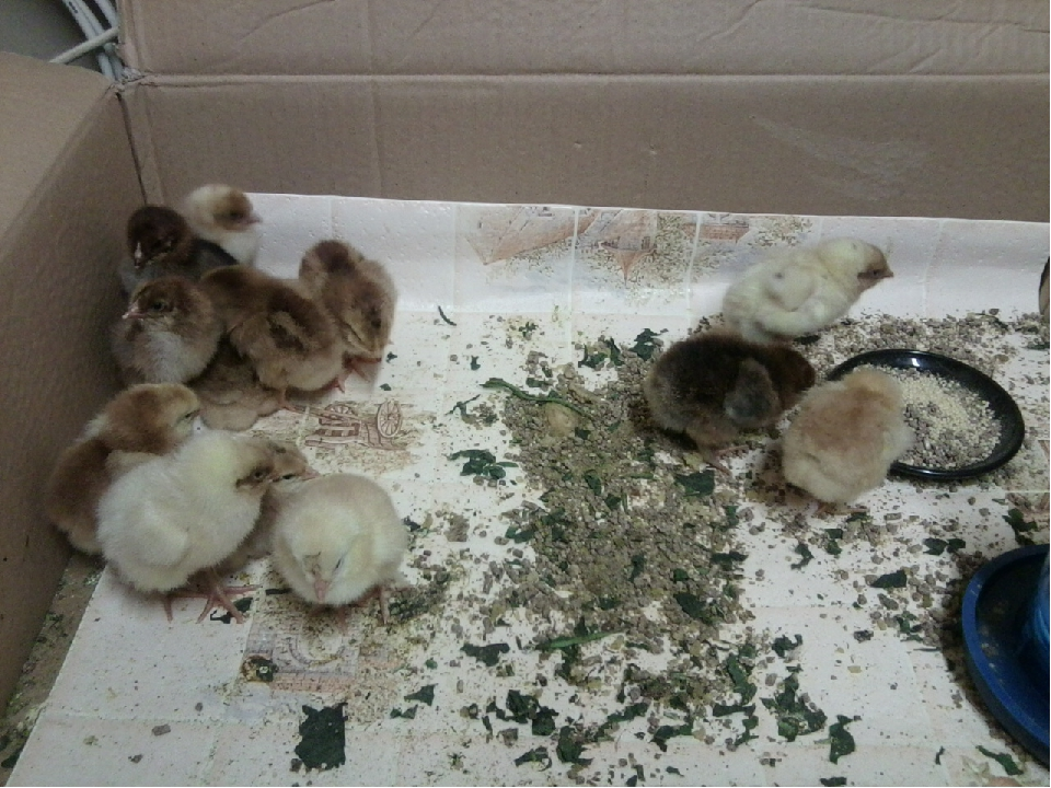 Цыплята в первую неделю жизни – 5 правил