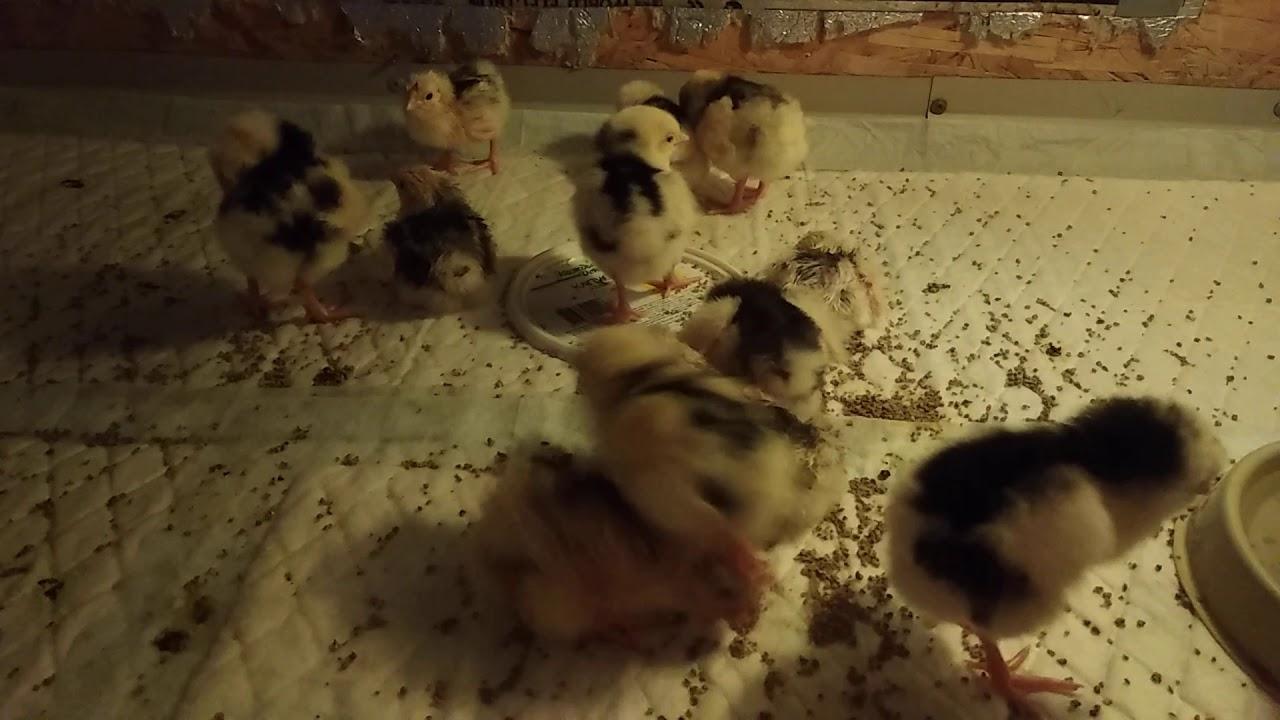 Май в курятнике! Забота и цыплятах и курах – 20 советов на месяц