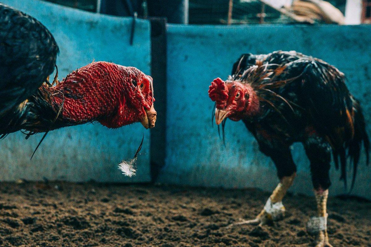 Московская - бойцовая порода кур. Описание, содержание, кормление и разведение