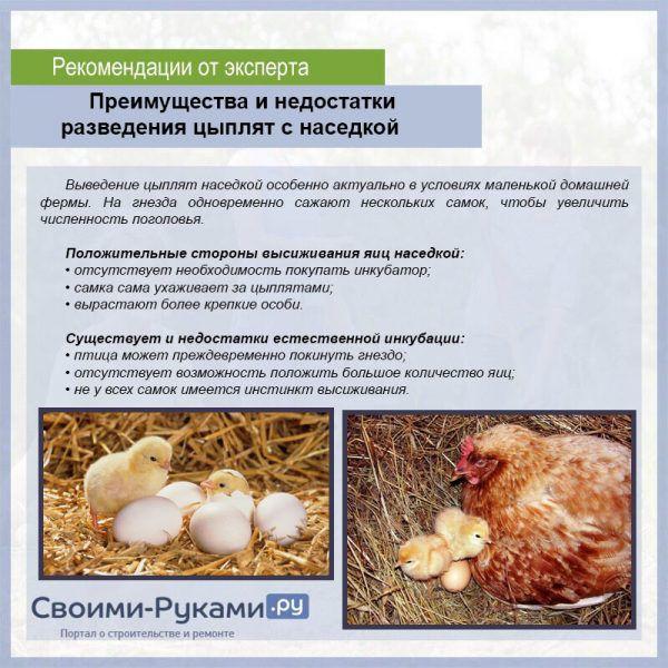 Как отучить курицу от насиживания яиц? Действенные способы: отсаживание, темнота, холодная вода, голодовка