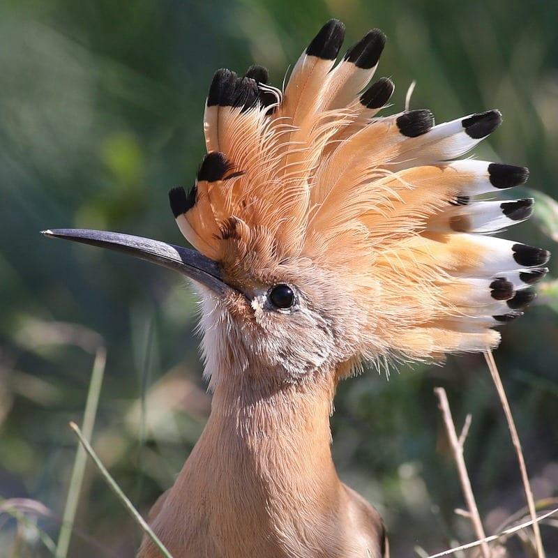 Разновидности голубей породы монах и их общая характеристика
