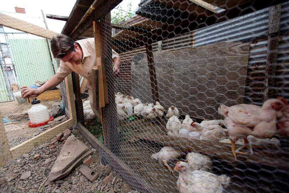 Можно ли содержать вместе кур и индюков в одном помещении? Обустройство птичника, организация выгула и особенности кормления
