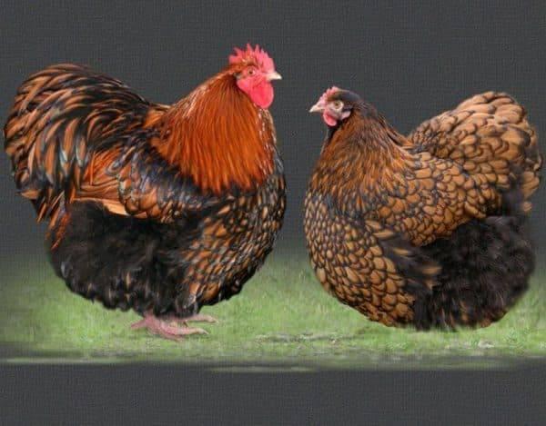 Орпингтон порода кур – описание, фото и видео