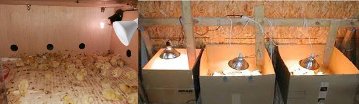 Как долго держать цыплят под лампой и температура в брудере