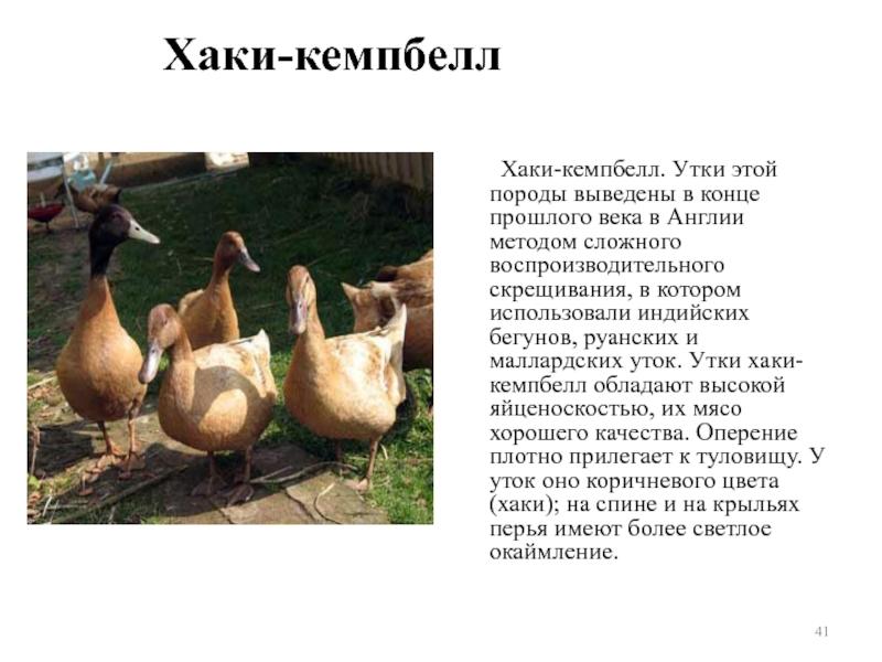 Чем примечательны утки породы Хаки Кемпбелл, особенности содержания и разведения