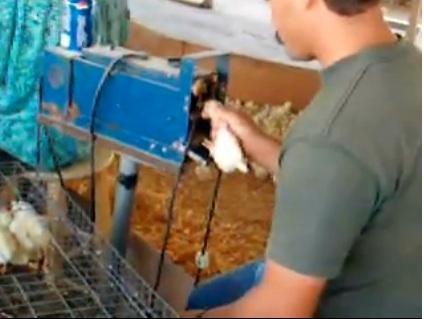 Как подрезать клюв мулардам, почему это нужно делать