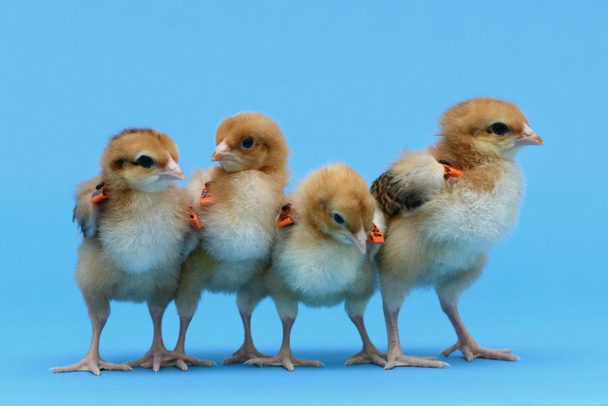 Суррогатные мамы курицы – в чем суть и результаты