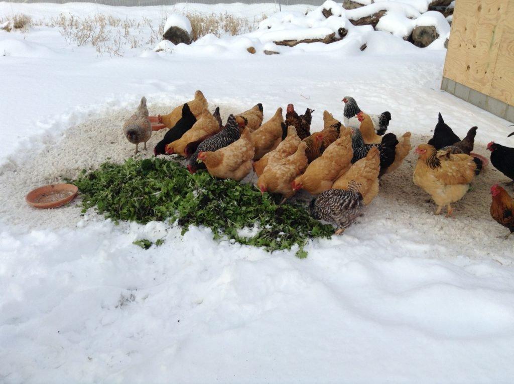 Чтобы куры неслись зимой – надо знать, каких оставить