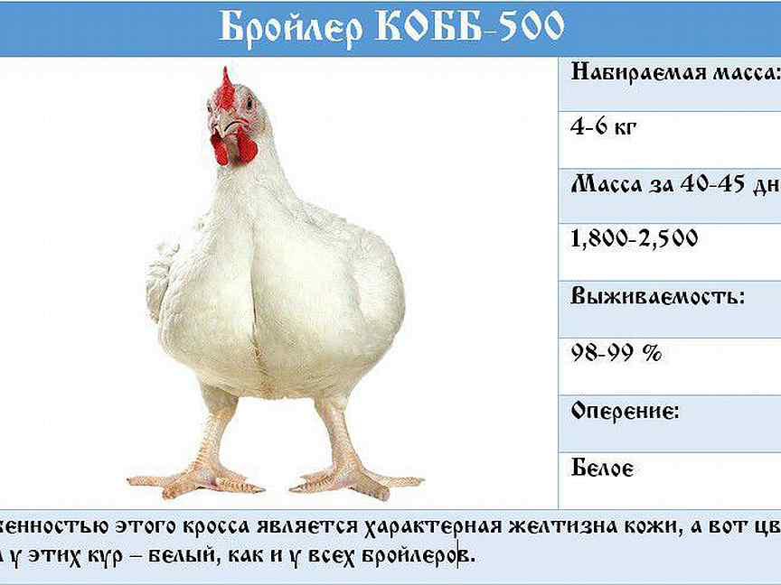 Что делать с птицей, если бройлеры не набирают вес