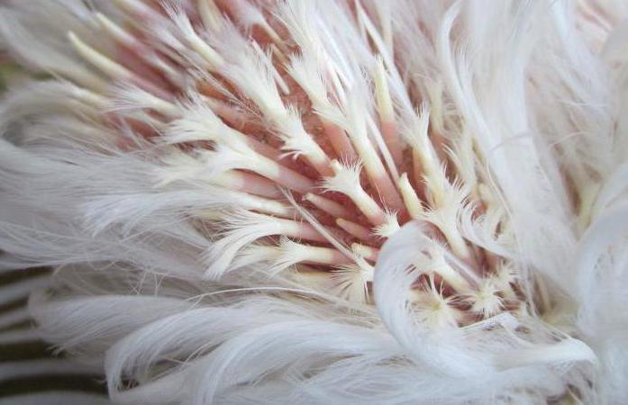 Почему у кур выпадают перья и что делать
