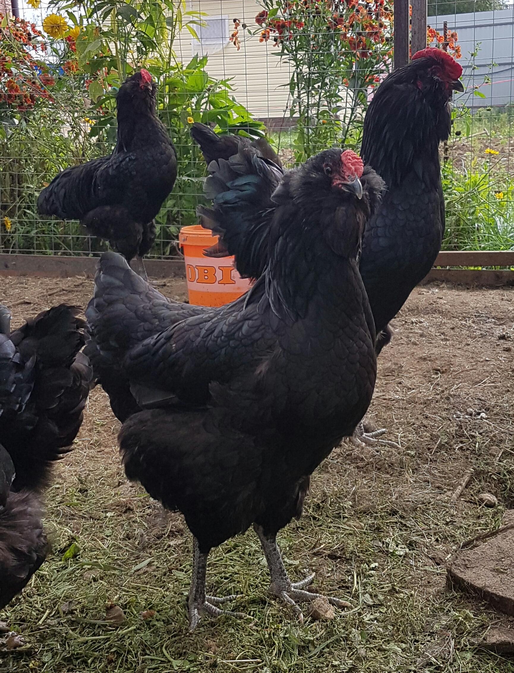 Галан порода кур – описание, фото и видео