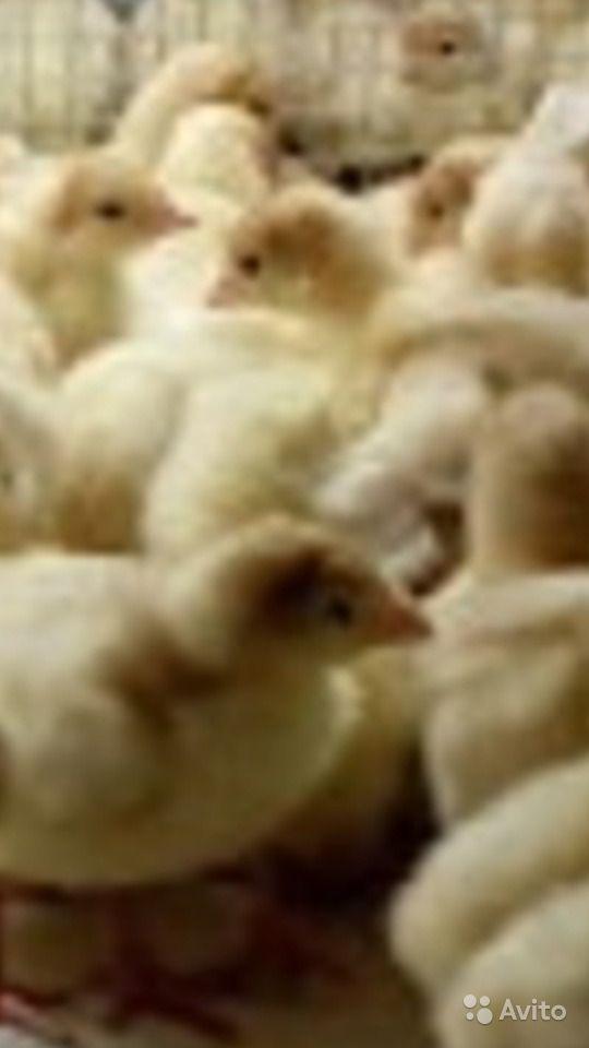 Индюки породы (кросса) Хайбрид конвертер – описание, особенности содержания