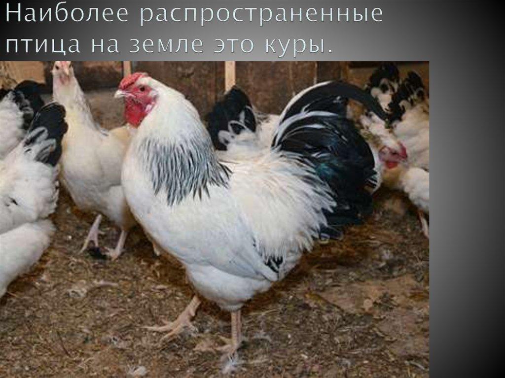 Первомайская порода кур – описание, фото и видео