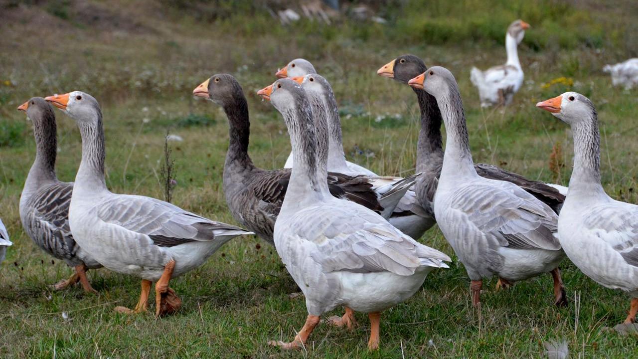 Всевозможные породы гусей с описанием