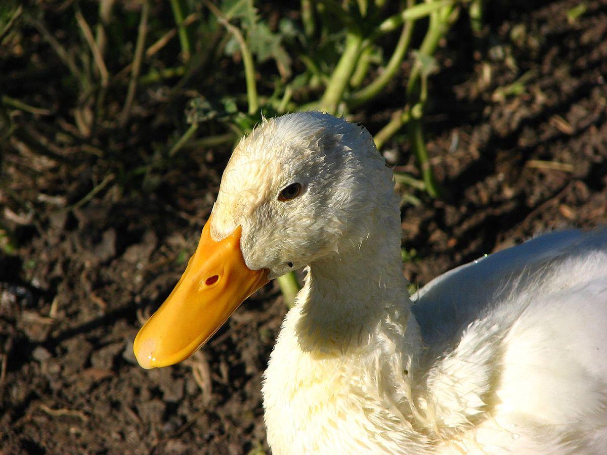 Утка агидель: описание породы