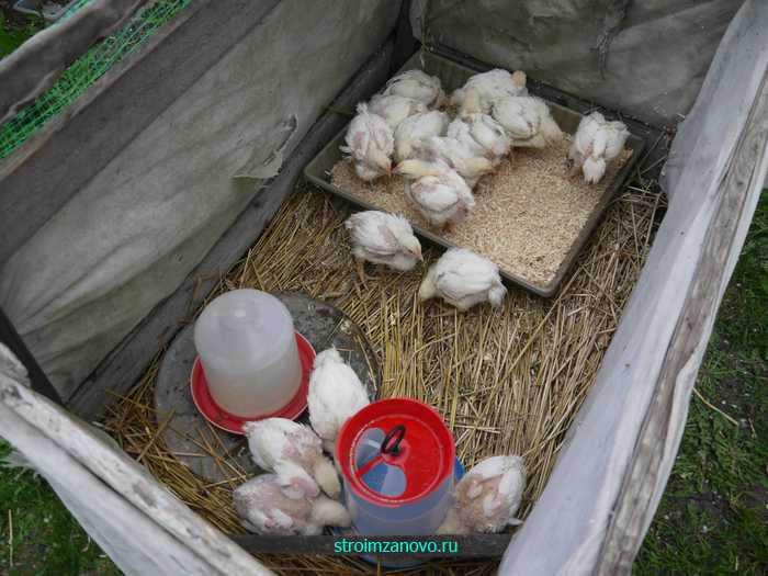 Как самостоятельно вырастить цыплят дома весной