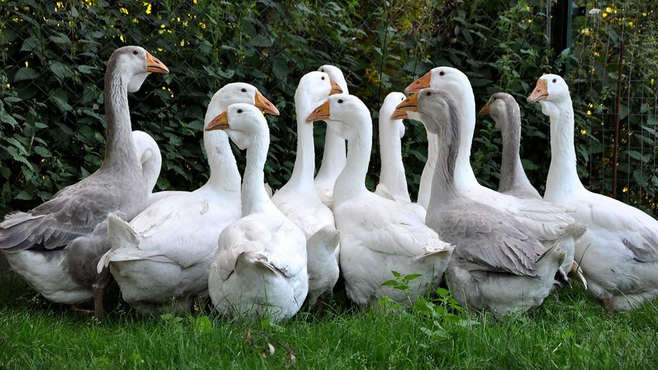 Уральские белые гуси – особенности продуктивности, описание внешнего вида