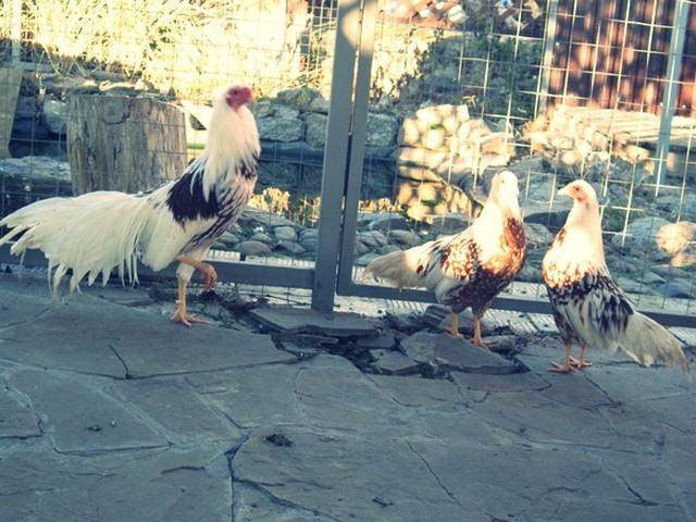 Йокогама порода кур – описание, фото и видео