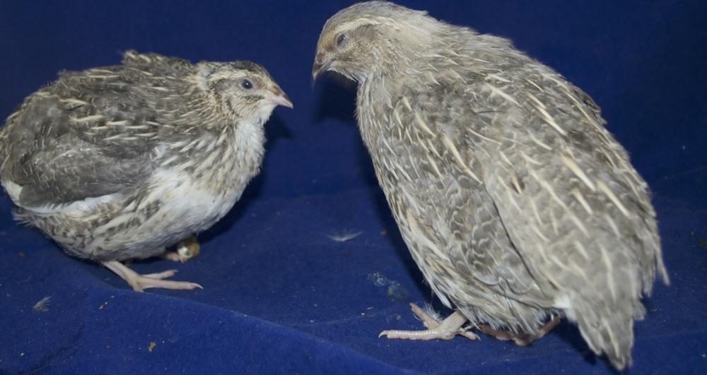 Перепелка Жемчужная фея – описание мясных и яичных качеств, требования к содержанию