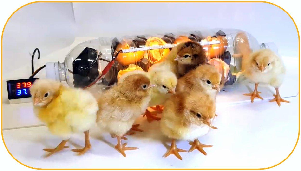 Почему не вывелись цыплята в пластиковой бутыли?