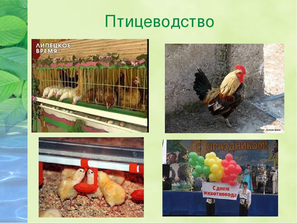 Будущее птицеводства или съедобные сверчки?