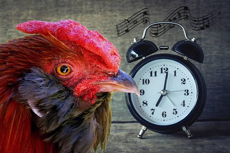 Почему петух кукарекает по утрам: в каком возрасте он начинает кричать, что сделать, чтобы он не орал ночью?