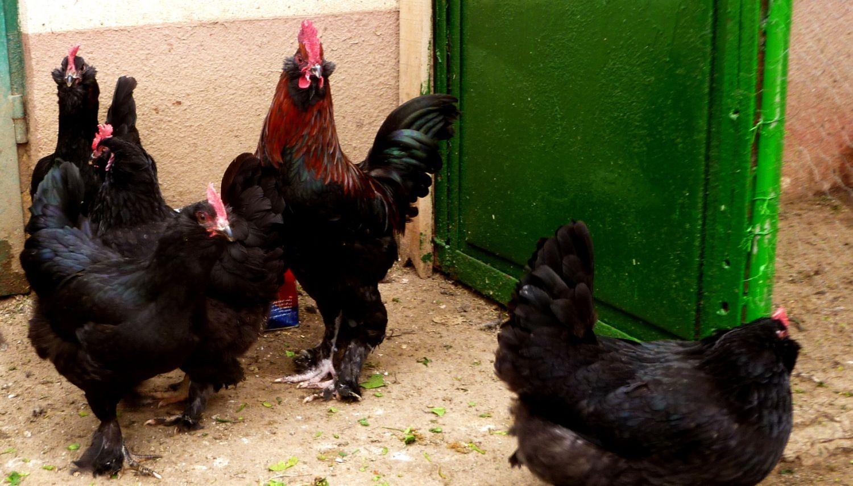 Маранди порода кур – описание с фото из Азербайджана