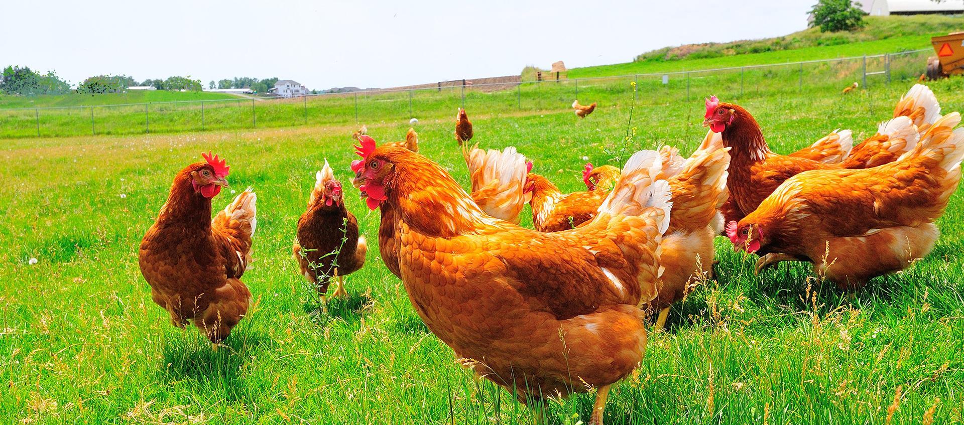 Куры Редбро - мясо-яичный кросс. Описание, характеристика, содержание, кормление и уход