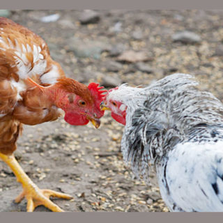 Куры клюют друг друга, что делать?
