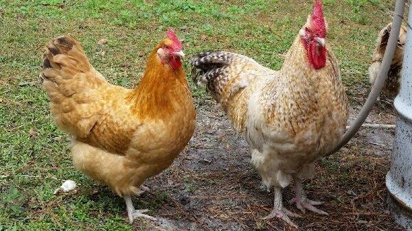Нидерхайнер порода кур – описание с фото и видео