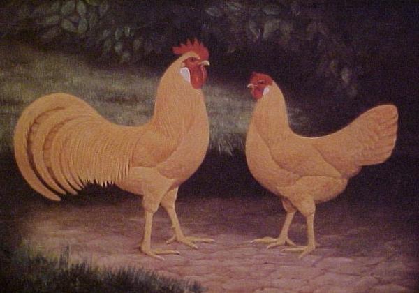 Анкона - яичная порода кур. Описание, характеристики, особенности разведения и ухода, кормление