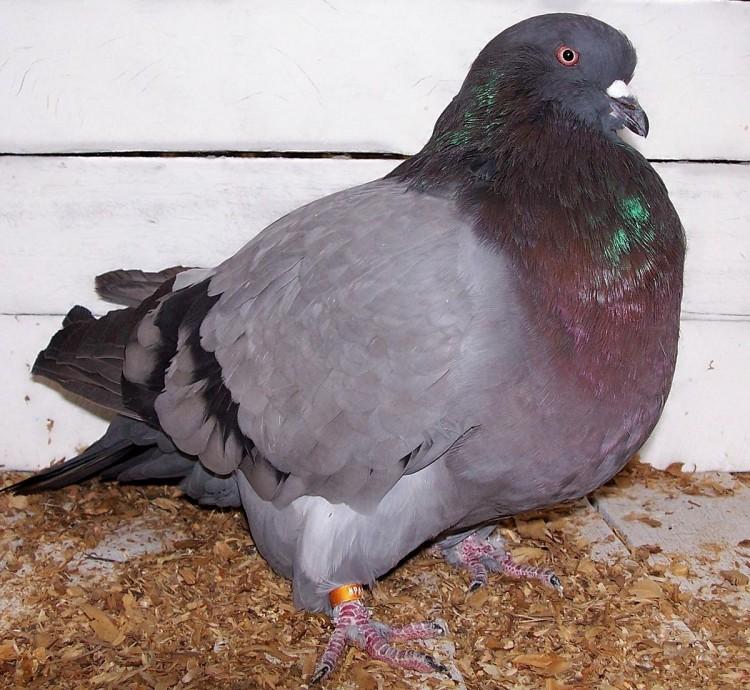 Обзор пород для мясного голубеводства