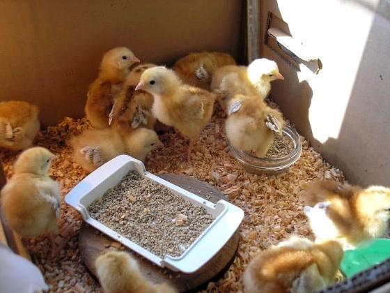 Курица вывела цыплят, что делать дальше?