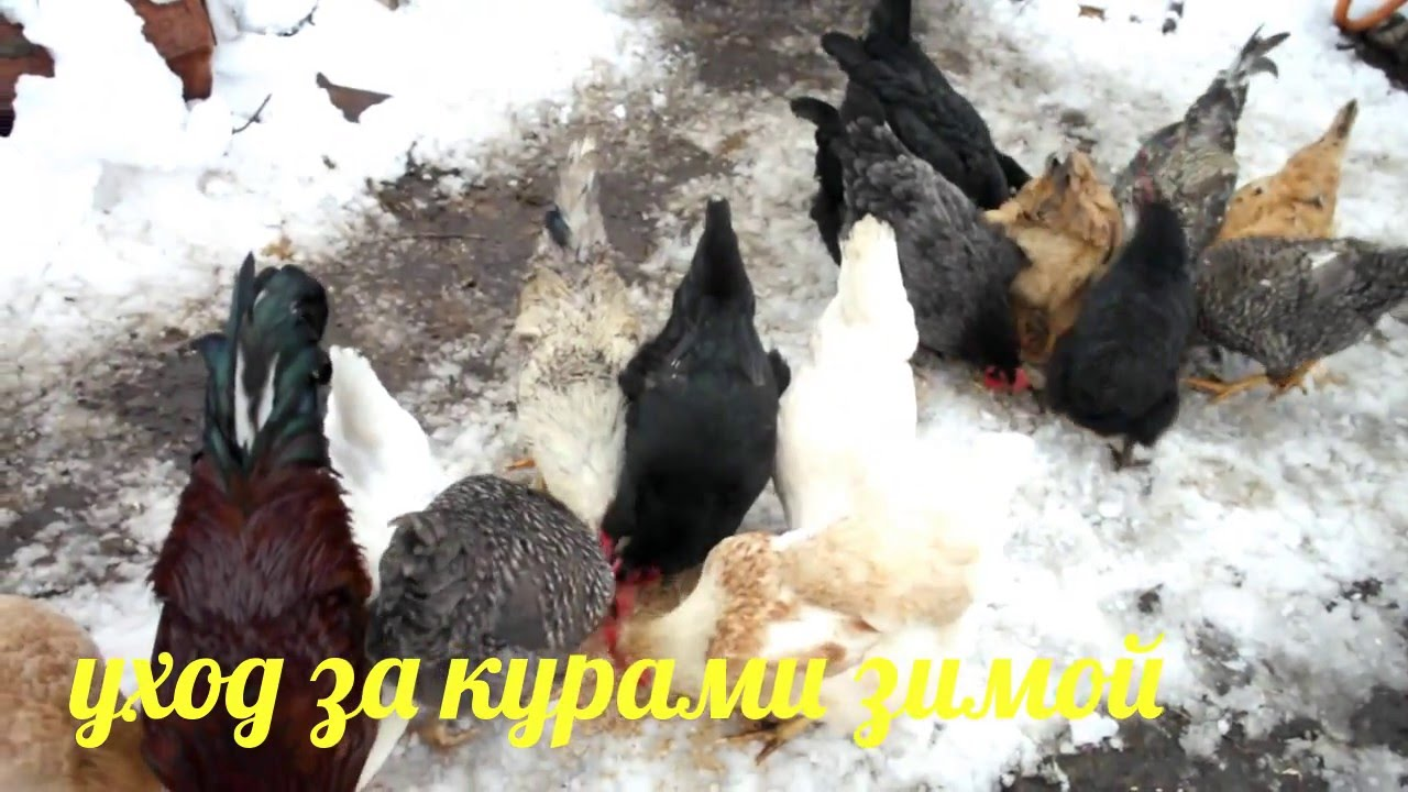 Как увеличить яйценоскость куриц в зимнее время