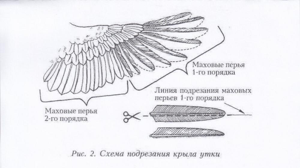 Как правильно подрезать крылья курам, чтобы они не летали? Необходимые инструменты и алгоритм действий