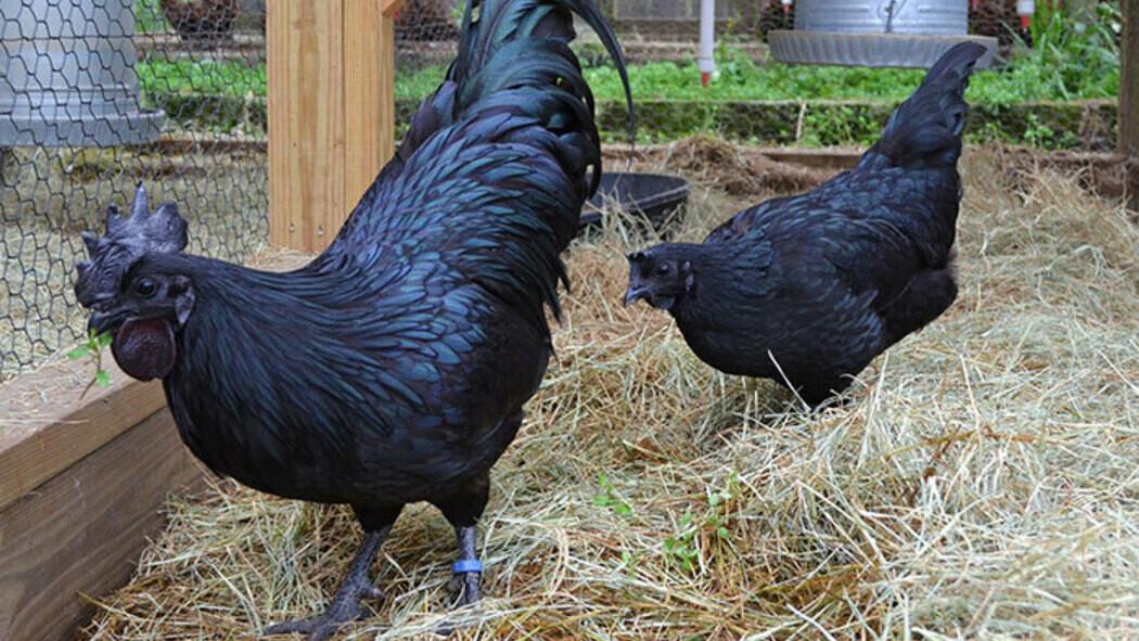 Ла Флеш - мясо-яичная порода кур. Описание, правила содержания и выращивания, кормление, инкубация