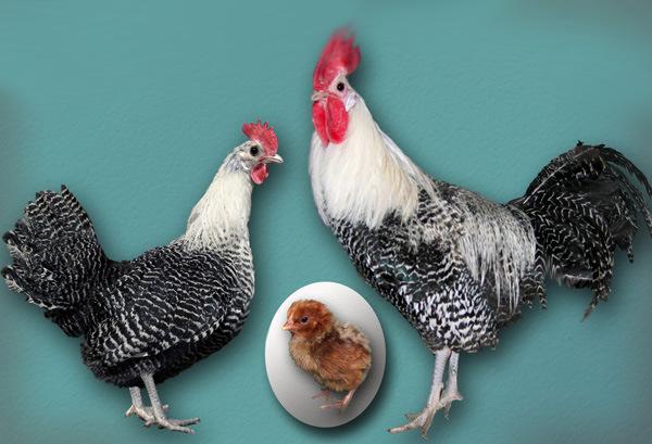 Брекель серебристый порода кур – описание, фото и видео