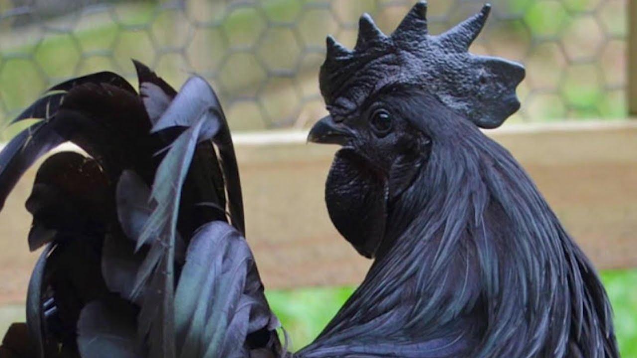 Аям Цемани - декоративная порода кур. Описание, характеристики, содержание и выращивание