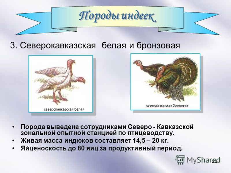 Индюк бронзовый северокавказский – описание породы и ее продуктивных качеств
