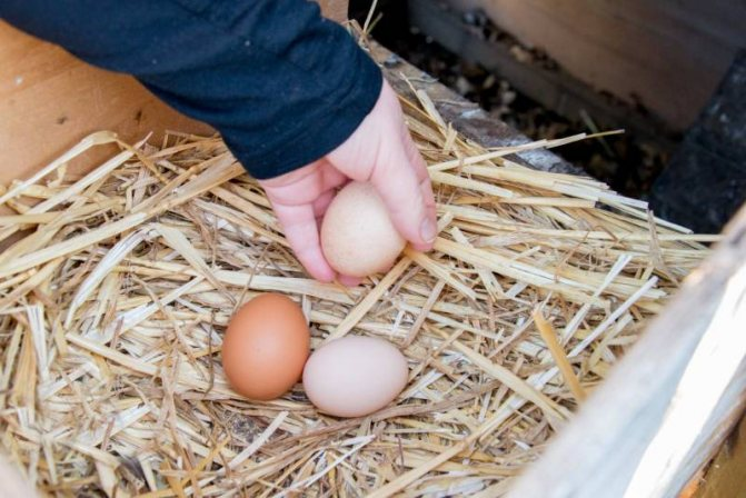 Как отучить кур клевать свои яйца?