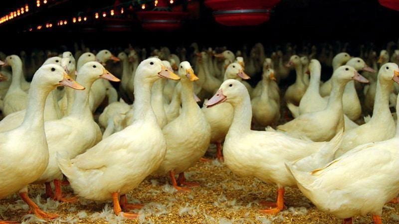 Стар 53 утки: особенности пекинских пернатых