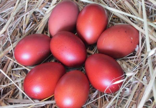 Эмпорданесса - мясо-яичная порода кур. Описание, характеристики, условия выращивания, кормление, инкубация