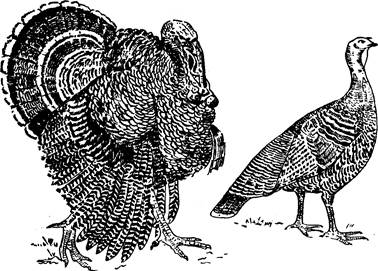 Бронзовые индюки – фото, описание породы, отзывы владельцев