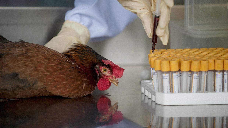 Колибактериоз у кур: симптомы и лечение. Цыплятам-бройлерам требуется особое внимание