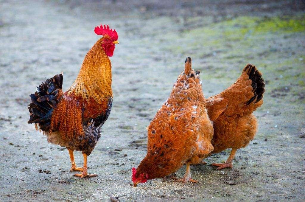 Авиколор порода кур – описание с фото и видео