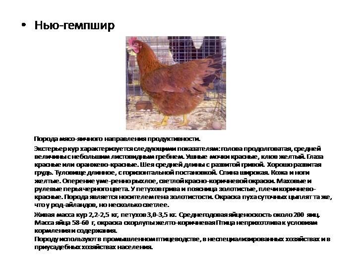 Кубалая - бойцовая порода кур. Описание, содержание, разведение, кормление и инкубация