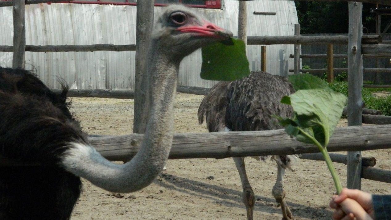 Африканские страусы – как разводить на фермах в российских условиях