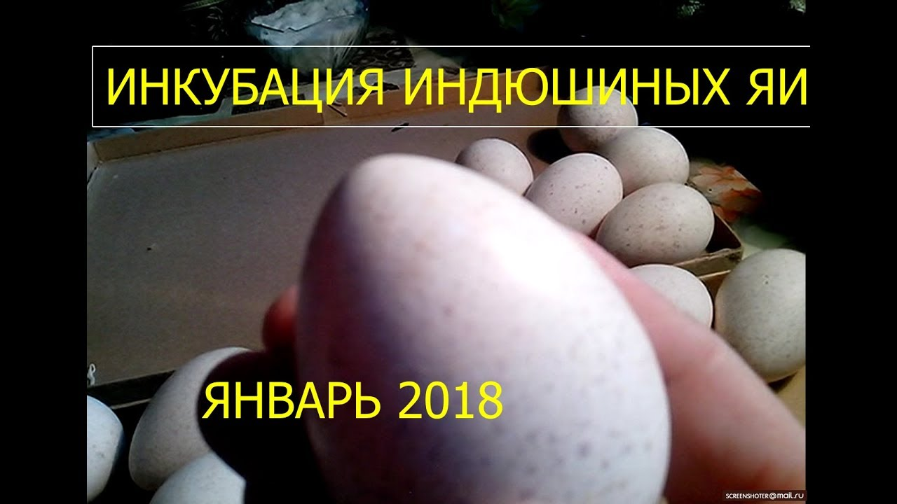 Искусственная инкубация яиц индеек