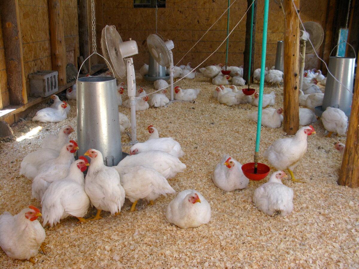 Содержание бройлерных кур в домашних условиях