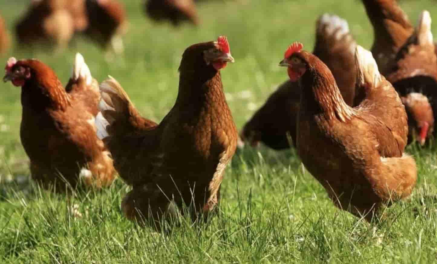 Альштейр - мясо-яичная порода кур. Описание, содержание и уход, кормление, разведение